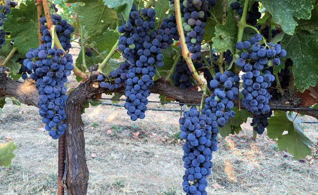 New Member Vineyard