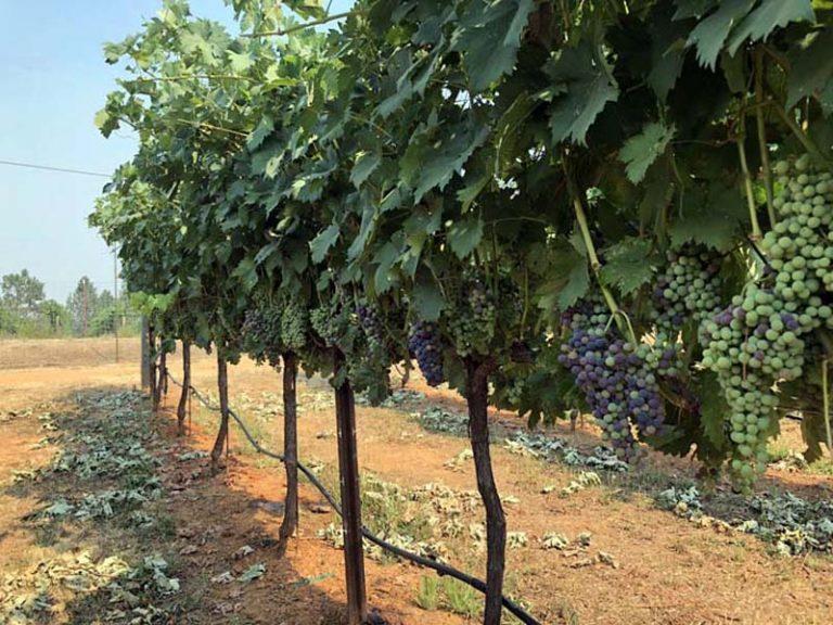 Vineyard Help Request