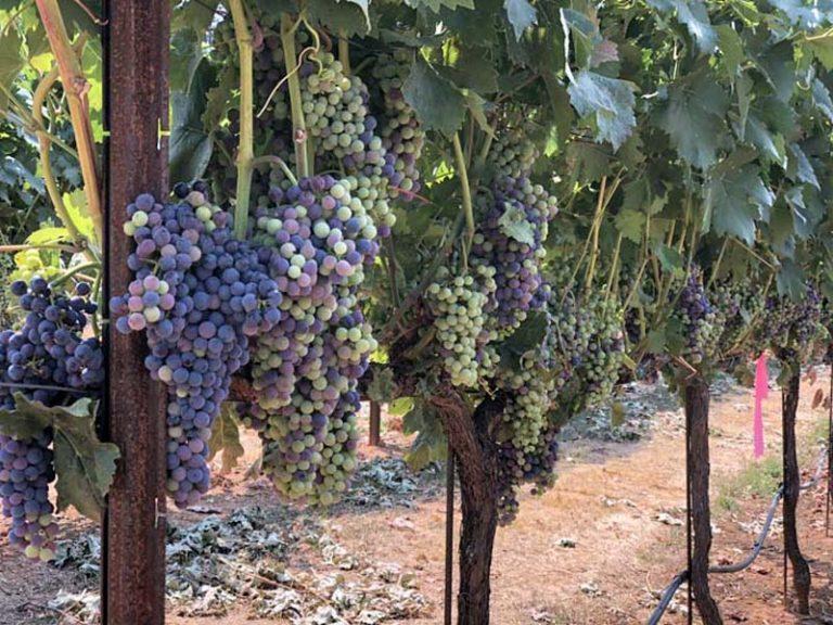 Sunshine Valley Vineyard Grapes For Sale