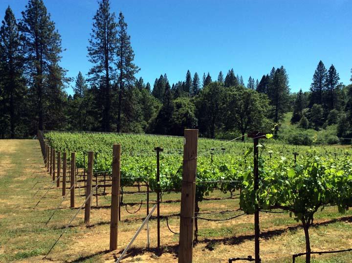 Sauvignon Blanc Grapes for Sale