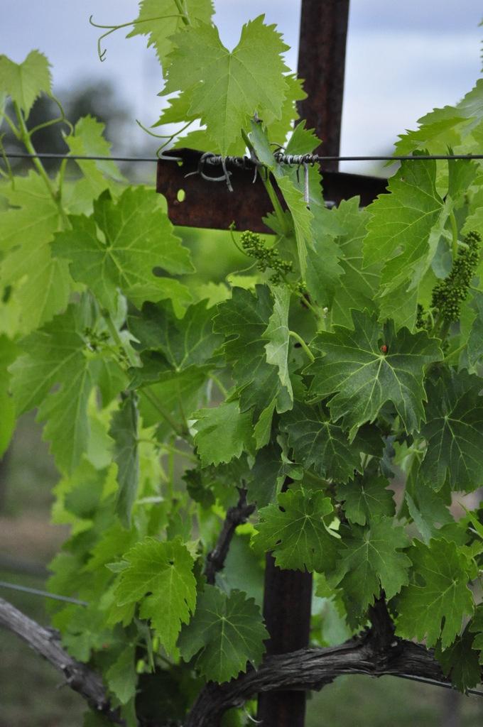February Meeting – Vineyard Irrigation and Fertilization